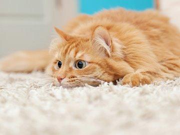 Livförsäkring till katt