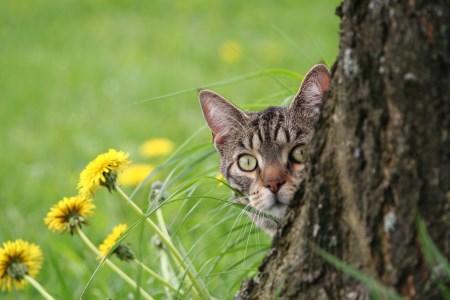 kattpest