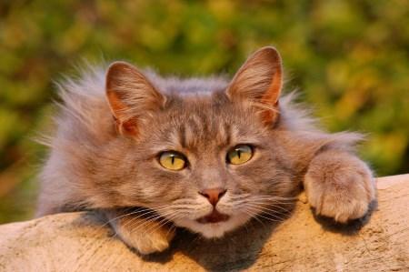 Öronskabb katt